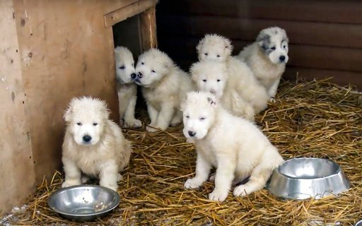 (AP Photo/ Russian Defense Ministry Press Service). In this photo made from the footage taken from Russian Defense Ministry official web site on Tuesday, Jan. 2, 2018 shows a frame grab from a New Year greeting video with puppies who are raised and tra...