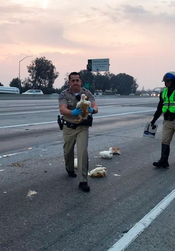 (CHP Officer C.Lillie/California Highway Patrol via AP). In this photo released by the California Highway Patrol, CHP officer DaSilva rescues nearly 20 chickens that ran through highway lanes in Norwalk, Calif., Tuesday, Jan. 2, 2018.
