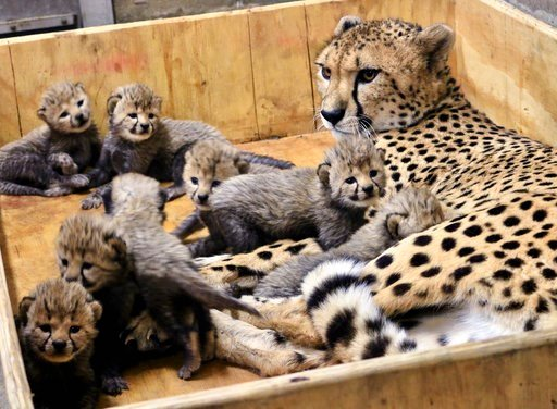 (Carolyn Kelly/St. Louis Zoo via AP). This Dec. 18, 2017, photo provided by the St. Louis Zoo shows Bingwa, a 4-year-old cheetah with her eight three-week-old cubs. Bingwa gave birth Nov. 26 but the births weren't announced until Wednesday, Jan. 3, 201...