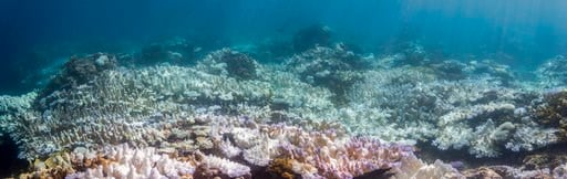 (David Burdick/NOAA via AP). This 2017 photo provided by NOAA shows bleached coral in Guam. A study released on Thursday, Jan. 4, 2018 finds that severe bleaching outbreaks are hitting coral reefs four times more often they used to a few decades earlier.