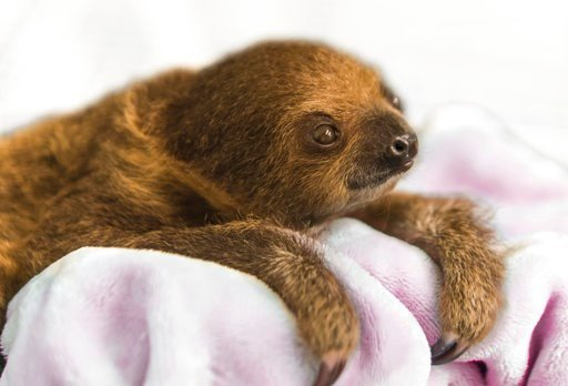 "(Jamie Greene/National Aviary for AP). This Dec. 8, 2017, photo provided by the National Aviary shows a female Linnaeus' two-toed sloth born Aug. 21, 2017,  named Vivien after ""Gone with the Wind"" actress Vivien Leigh and hand-raised to serve as an edu..."