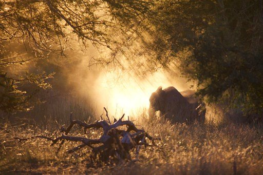 (Robert Pringle via AP). In this 2016 photo provided by Robert Pringle, elephants feed at sunset in Gorongosa National Park, Mozambique. Although some animals are killed in the crossfire or by mines, war primarily changes social and economic conditions...