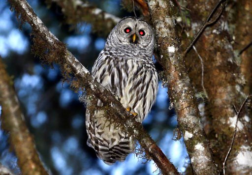 (AP Photo/Don Ryan). In this Dec. 13, 2017 photo, a female barred owl sits on a branch in the wooded hills outside Philomath, Ore. A federal appeals court in San Francisco has upheld a plan by wildlife officials to kill one type of owl to study its eff...