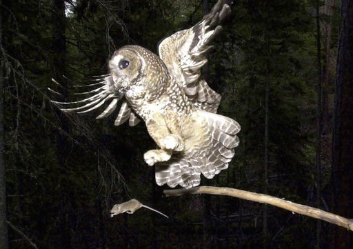 (AP Photo/Don Ryan, File). FILE - In this May 8, 2003, file photo, a Northern Spotted Owl flies after an elusive mouse jumping off the end of a stick in the Deschutes National Forest near Camp Sherman, Ore.  A new study said rat poison from pot farms i...
