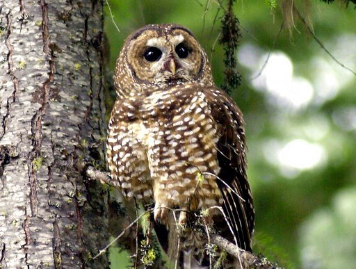 (AP Photo/Don Ryan, File). FILE - In this May 8, 2003, file photo, a northern spotted owl sits on a tree branch in the Deschutes National Forest near Camp Sherman, Ore. A federal appeals court in San Francisco has upheld a plan by wildlife officials to...