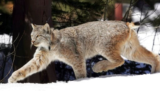 (AP Photo/David Zalubowski, File). FILE - In this April 19, 2005 file photo, a Canada lynx heads into the Rio Grande National Forest after being released near Creede, Colo. Wildlife officials said Thursday, Jan. 11, 2018, the Canada lynx no longer need...