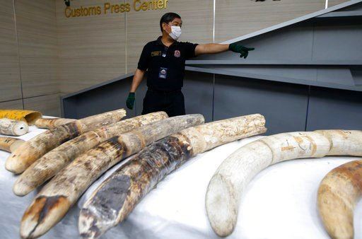 (AP Photo/Sakchai Lalit). A Thai customs official displays seized ivory during a press conference in Bangkok, Thailand, Friday, Jan. 12, 2018. Thai authorities seized 148 kilograms full elephant tusk and 31 tusk fragments originating from Nigeria desti...