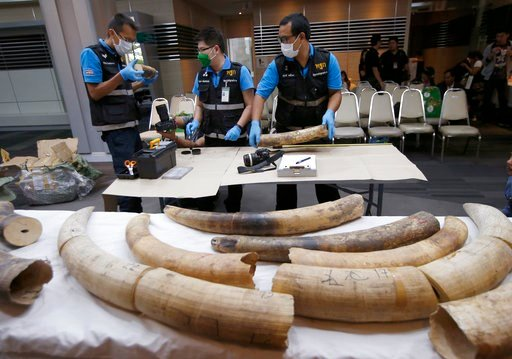 (AP Photo/Sakchai Lalit). Forensic officers inspect ivory seized at the customs office after a press conference in Bangkok, Thailand, Friday, Jan. 12, 2018. Thai authorities seized 148 kilograms full elephant tusk and 31 tusk fragments originating from...