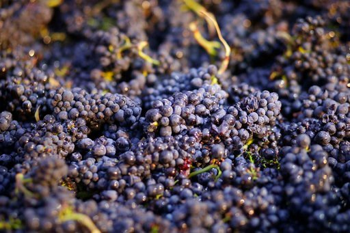 (AP Photo/Eric Risberg, File). FILE - In this Friday, Aug. 29, 2014 file photo, Pinot Noir grapes just picked are shown in a bin in Napa, Calif. Federal scientists have determined that a family of widely used pesticides poses a threat to dozens of enda...