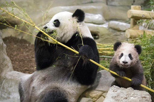 """(Zoo Parc de Beauval via AP). Panda cub Yuan Meng, which means """"the realization of a wish"""" or """"accomplishment of a dream"""", eats bamboos with her mother Huan Huan at the Beauval Zoo, in Saint-Aignan-sur-Cher, France, Saturday, Jan. 13, 2018. France's fi..."""