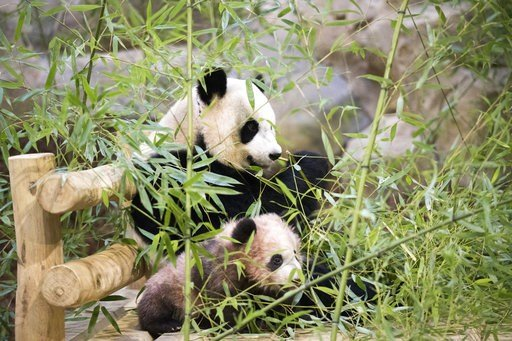 """(Zoo Parc de Beauval via AP). Panda cub Yuan Meng, which means """"the realization of a wish"""" or """"accomplishment of a dream"""", is pictured with her mother Huan Huan at the Beauval Zoo, in Saint-Aignan-sur-Cher, France, Saturday, Jan. 13, 2018. France's fir..."""