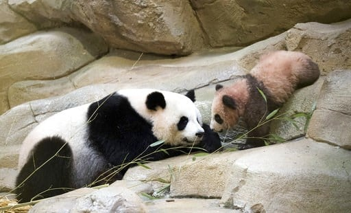 """(Zoo Parc de Beauval via AP). Panda cub Yuan Meng, which means """"the realization of a wish"""" or """"accomplishment of a dream"""", eats bamboos with his mother Huan Huan at the Beauval Zoo, in Saint-Aignan-sur-Cher, France, Saturday, Jan. 13, 2018. France's fi..."""