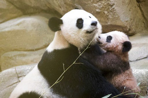 """(Zoo Parc de Beauval via AP). Panda cub Yuan Meng, which means """"the realization of a wish"""" or """"accomplishment of a dream"""", plays with her mother Huan Huan at the Beauval Zoo, in Saint-Aignan-sur-Cher, France, Saturday, Jan. 13, 2018. France's first bab..."""