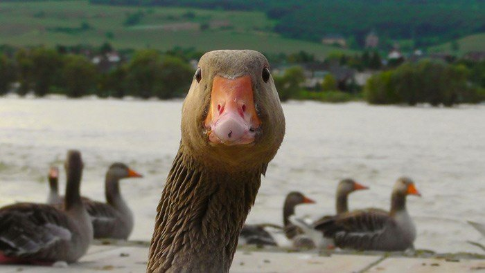 Get off my lawn! Billionaire takes property tax stand over geese that turn his lawn into a minefield of poop. (Source: Pixabay, file image)