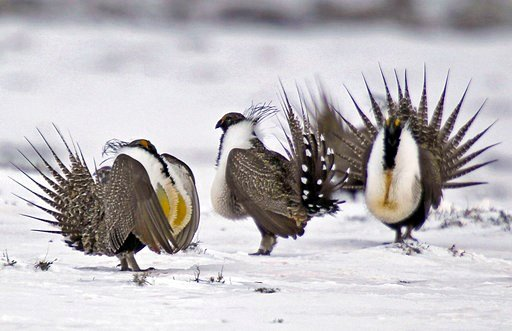 (AP Photo/David Zalubowski, File). FILE - In this April 20, 2013 file photo, male greater sage grouse perform mating rituals for a female grouse, not pictured, on a lake outside Walden, Colo. More than 50,000 square miles of Bureau of Land Management l...
