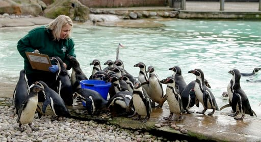 (AP Photo/Matt Dunham). A zookeeper poses with Humboldt penguins during a photocall to publicise the annual stock-take at London Zoo in London, Wednesday, Feb. 7, 2018.