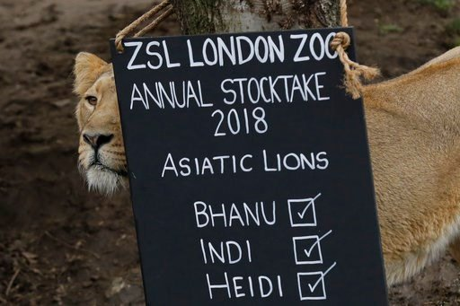 (AP Photo/Matt Dunham). A lioness stands next to a sign placed in their in enclosure during a photocall to publicize the annual stock-take at London Zoo in London, Wednesday, Feb. 7, 2018.