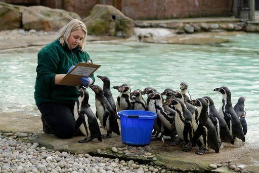 (AP Photo/Matt Dunham). A zookeeper poses with Humboldt penguin during a photocall to publicise the annual stock-take at London Zoo in London, Wednesday, Feb. 7, 2018.