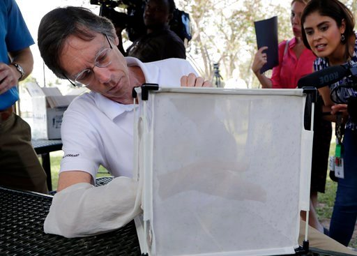(AP Photo/Lynne Sladky). Bill Petrie, Director of Miami-Dade County Mosquito Control, places his hand inside a box containing Wolbachia-infected male mosquitoes, Thursday, Feb. 8, 2018, in South Miami, Fla. Thousands of bacteria-infected mosquitoes are...