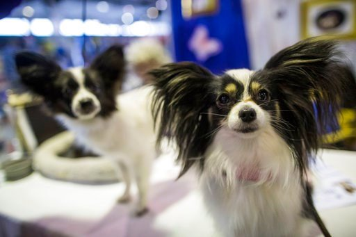 (AP Photo/Mary Altaffer). Papillons Willow, right, and Kayla are shown during the meet the breeds companion event to the Westminster Kennel Club Dog Show, Saturday, Feb. 10, 2018, in New York.