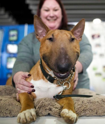 (AP Photo/Mary Altaffer). Erin Marcotte, of Raymond, N.H., shows Ronin, a 2-year old miniature bull terrier, during the meet the breeds companion event to the Westminster Kennel Club Dog Show, Saturday, Feb. 10, 2018, in New York.