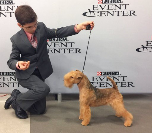 (Alysha Towell via AP). In this Sept. 2017 photo provided by Alysha Towell, eleven-year-old Fenric Towell kneels with his Lakeland terrier, Missy, on lead, at Purina Farms in Grey Summit, Mo. The Westminster Kennel Club competition is best known for th...