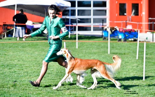 (Diana Ham/Nor Cal Bulldogger via AP). In this 2017 photo provided Diana Han, junior dog handler Molly Forsyth, of Davis, Calif., shows a 9-year-old saluki named Sebastian at a dog show in Roseville, Calif. The Westminster Kennel Club competition is be...