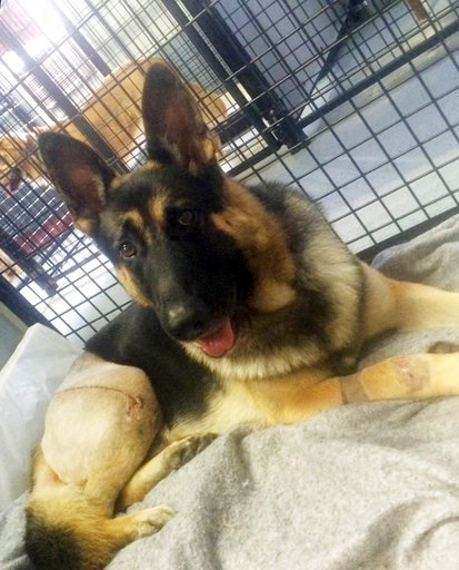 (Stephanie Schrock via AP). Fanucci, a German shepherd, rests at the home of co-owner Stephanie Schrock in Milton, Del., a month after he was injured in a van accident in 2014. Fanccui's right rear leg was shattered and he sustained other cuts and inju...
