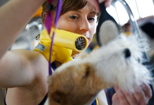 (AP Photo/Seth Wenig). Kristen Falterman grooms her Wire Fox Terrier named Spiffy during the 142nd Westminster Kennel Club Dog Show in New York, Tuesday, Feb. 13, 2018.