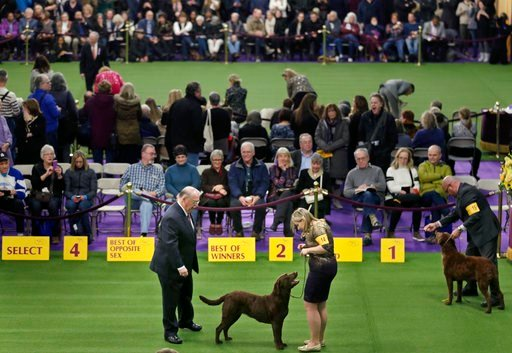 (AP Photo/Seth Wenig). Chesapeake Bay retrievers compete during the 142nd Westminster Kennel Club Dog Show in New York, Tuesday, Feb. 13, 2018.