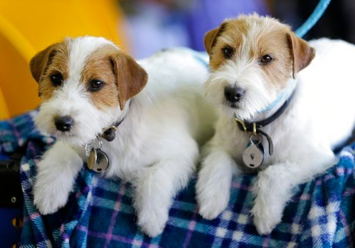 (AP Photo/Seth Wenig). Russell terriers named Dom, right, and Demi relax in the benching area during the 142nd Westminster Kennel Club Dog Show in New York, Tuesday, Feb. 13, 2018.