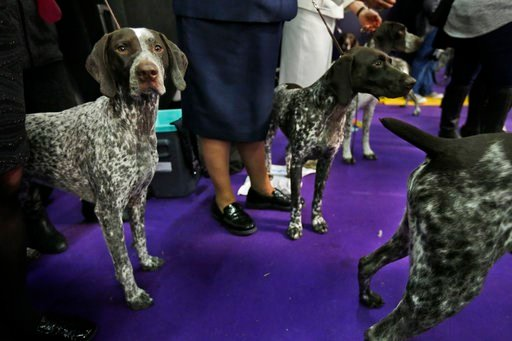 (AP Photo/Seth Wenig). German shorthaired pointers wait to enter the ring during the 142nd Westminster Kennel Club Dog Show in New York, Tuesday, Feb. 13, 2018.