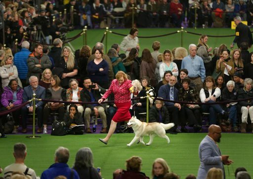 (AP Photo/Seth Wenig). A Siberian husky competes during the 142nd Westminster Kennel Club Dog Show in New York, Tuesday, Feb. 13, 2018.