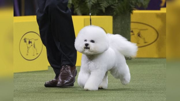 Bill McFadden shows Flynn, a bichon frise, in the ring during the non-sporting group during the 142nd Westminster Kennel Club Dog Show, Monday, Feb. 12, 2018, at Madison Square Garden in New York. (AP Photo/Mary Altaffer)