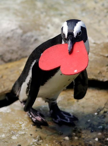 (AP Photo/Marcio Jose Sanchez). A penguin carries heart-shaped nesting material which it received from biologists as a Valentine's Day promotion at the California Academy of Sciences Tuesday, Feb. 13, 2018, in San Francisco.