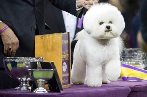 (AP Photo/Mary Altaffer). Flynn, a bichon frise, poses for photos after winning best in show during the 142nd Westminster Kennel Club Dog Show, Wednesday, Feb. 14, 2018, at Madison Square Garden in New York.