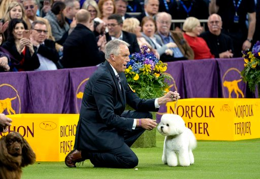 (AP Photo/Craig Ruttle). Handler Bill McFadden reacts as Flynn, a bichon frise, is named best in show at the 142nd Westminster Kennel Club Dog Show, Tuesday, Feb. 13, 2018, at Madison Square Garden in New York.