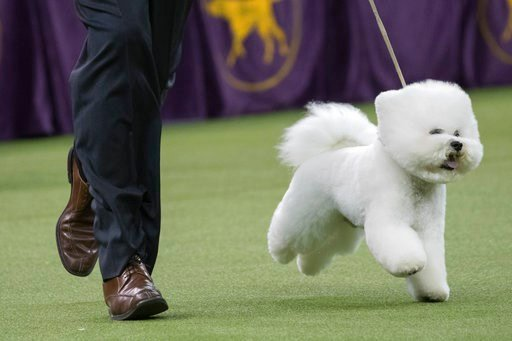 (AP Photo/Mary Altaffer). Handler Bill McFadden shows Flynn, a bichon frise, in the best in show competition during the 142nd Westminster Kennel Club Dog Show, Tuesday, Feb. 13, 2018, at Madison Square Garden in New York. Flynn won best in show.