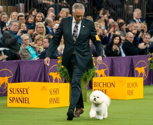 (AP Photo/Craig Ruttle). Handler Bill McFadden walks with Flynn, before the bichon frise was named Best in Show at the 142nd Westminster Kennel Club Dog Show, Tuesday, Feb. 13, 2018, at Madison Square Garden in New York.