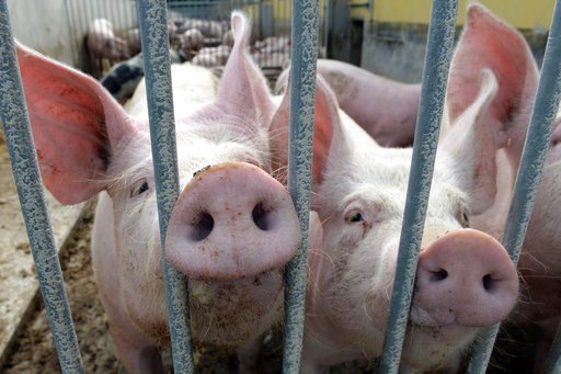 (Maurizio Gambarini/dpa via AP,file). FILE - In this July 10, 2017 file picture two pigs sit in their enclosure on an ecological farm in Lanke, Germany. European statistical agency Eurostat said Thursday March 1, 2018  that with a population of some 15...