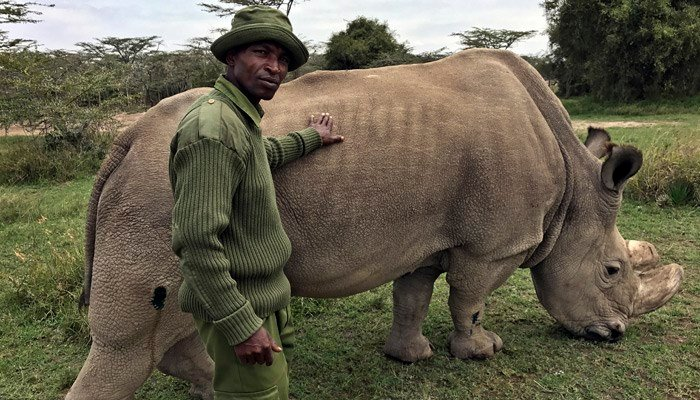 The health of the world's last male northern white rhino is deteriorating; scientists still hope to save the subspecies from extinction through artificial reproduction methods. (Source: Joe Mwihia/AP)