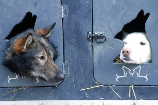 (AP Photo/Mark Thiessen, File). FILE - In this March 7, 2015, file photo, two dogs peek out from look out holes on the truck of musher Justin Savidis of Willow, Alaska, before the ceremonial run of the Iditarod Trail Sled Dog Race in Anchorage, Alaska....