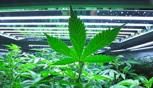 (Eric Engman/Fairbanks Daily News-Miner via AP, File). FILE - This June 5, 2017, file photo shows a marijuana leaf in the vegetative room at a cannabis cultivator in Fairbanks, Alaska. Some states that have legalized marijuana are considering providing...