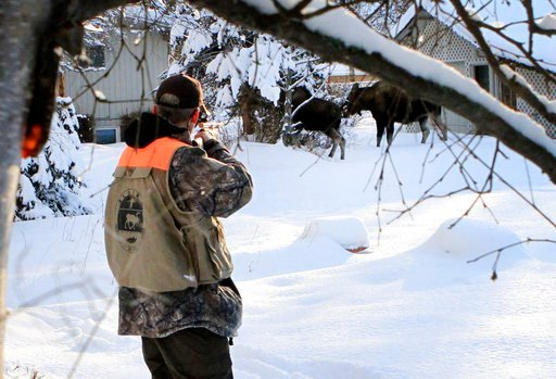 (AP Photo/Dan Joling). In this Friday, Feb. 23, 2018, photo, Dave Battle of the Alaska Department Fish and Game waits for a moose to move off after firing a dart into its side that's designed to obtain a skin sample in Anchorage, Alaska. Flight rules o...