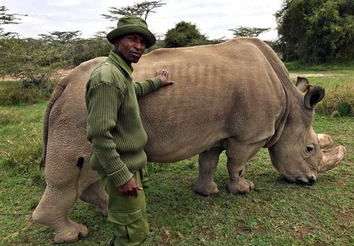(AP Photo/Joe Mwihia, File). FILE - In this Friday, July 28, 2017 file photo, wildlife ranger Zachariah Mutai takes care of Sudan, the world's last male northern white rhino, at the Ol Pejeta Conservancy in Laikipia county in Kenya. The health of 45-ye...