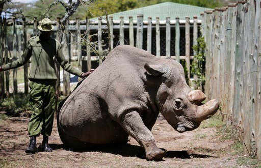 (AP Photo). In this photo taken Wednesday, May 3, 2017, a ranger takes care of Sudan, the world's last male northern white rhino, at the Ol Pejeta Conservancy in Laikipia county in Kenya.  The health of 45-year old Sudan is deteriorating and his minder...
