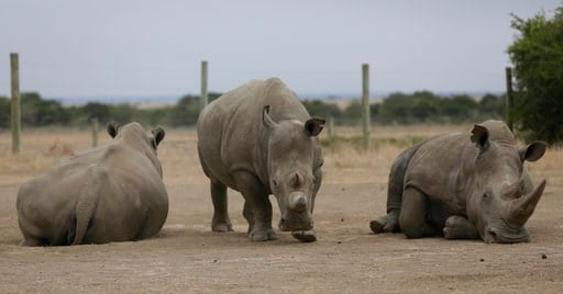(AP Photo/Sunday Alamba). Fatu, centre, and Najin, left, the only two female northern white rhinos left in the world, graze where they are kept for observation, at the Ol Pejeta Conservancy in Laikipia county in Kenya Friday, March 2, 2018. The health ...