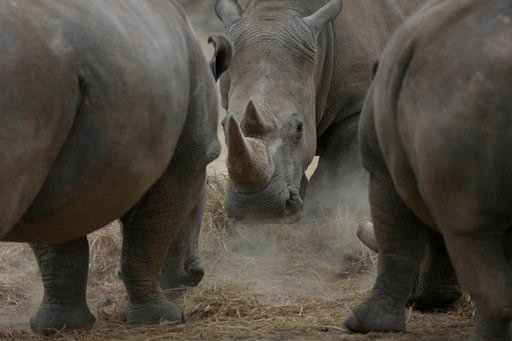(AP Photo/Sunday Alamba). Najin, centre, one of only two female northern white rhinos remaining in the world, graze in the pen where she is kept for observation, at the Ol Pejeta Conservancy in Laikipia county in Kenya Friday, March 2, 2018. The health...