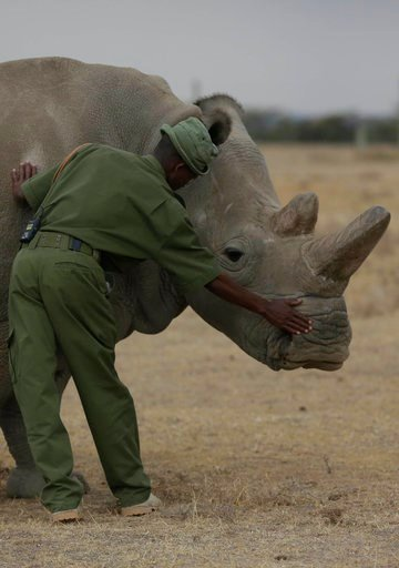(AP Photo/Sunday Alamba). Keeper Zachariah Mutai attends to Fatu, one of only two female northern white rhinos remaining in the world, walks in the pen where she is kept for observation, at the Ol Pejeta Conservancy in Laikipia county in Kenya Friday, ...