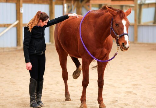 (AP Photo/Nati Harnik). In this March 1, 2018 photo, Wakema, a 9-year-old horse, raises her rear leg by reflex during an equine body work session by Jane Fucinaro in Blair, Neb. A bill introduced by Nebraska state Sen. Mike Groene of North Platte, prop...